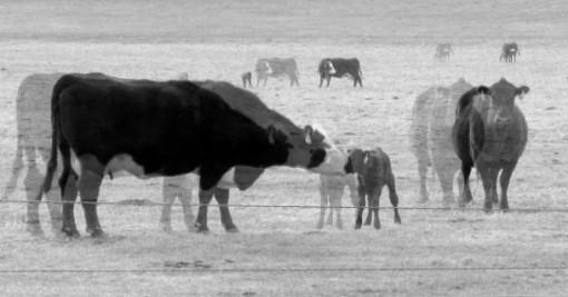 """Keine Massentierhaltung als Illusion eines Öko-Kapitalismus. Bild: Jim Frost, """"new baby claves"""". Some rights reserved. Quelle: pigs.de"""